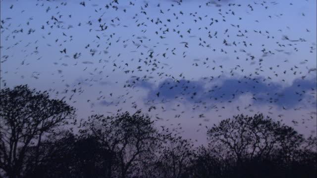 stockvideo's en b-roll-footage met rooks (corvus frugilegus) fly over rookery at dawn, norfolk, uk - fly over