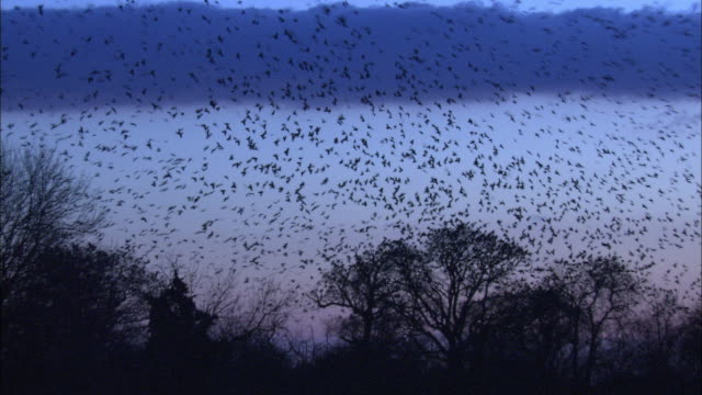 Rooks (Corvus frugilegus) fly over rookery at dawn, Norfolk, UK