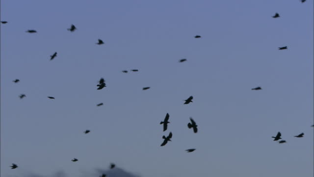 "stockvideo's en b-roll-footage met rooks (corvus frugilegus) fly over rookery at dusk, norfolk, uk - ""bbc natural history"""