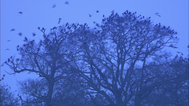 rooks (corvus frugilegus) fly to roost in rookery at dawn, norfolk, uk - perching stock videos & royalty-free footage