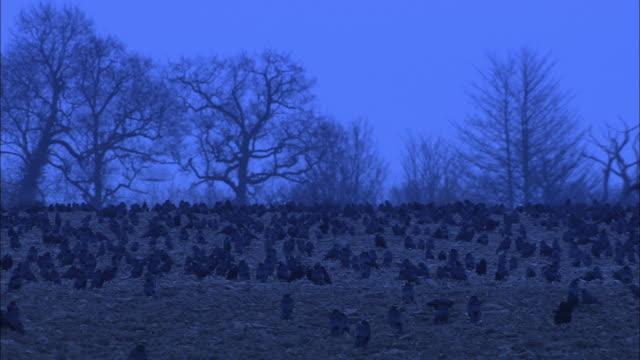 vídeos de stock, filmes e b-roll de rooks (corvus frugilegus) forage in field at dawn, norfolk, uk - norfolk east anglia