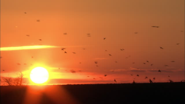 Rooks (Corvus frugilegus) forage in field at sunset, Norfolk, UK