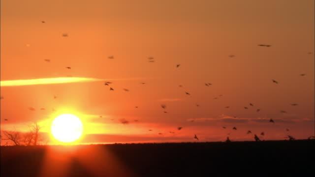 stockvideo's en b-roll-footage met rooks (corvus frugilegus) forage in field at sunset, norfolk, uk - stilstaande camera