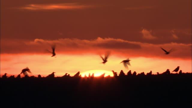 vídeos de stock, filmes e b-roll de rooks (corvus frugilegus) forage in field at sunset, norfolk, uk - norfolk east anglia