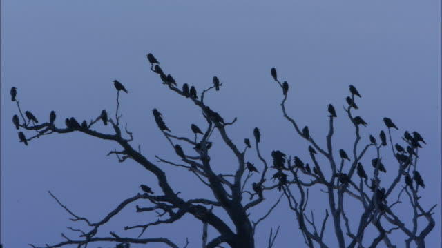 rooks (corvus frugilegus) in rookery tree at dusk, norfolk, uk - crow stock videos & royalty-free footage