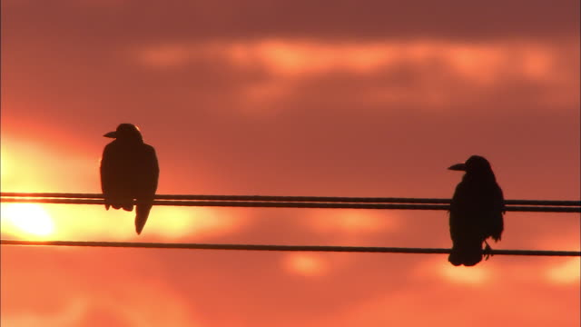 Rooks (Corvus frugilegus) perch on pylons at sunset, Norfolk, UK