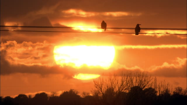 rooks (corvus frugilegus) perch on pylons at sunset, norfolk, uk - power line stock videos & royalty-free footage
