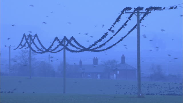 rooks (corvus frugilegus) perch onto pylons at dawn, norfolk, uk - power line stock videos & royalty-free footage