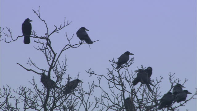 rooks (corvus frugilegus) perched in rookery at dawn, norfolk, uk - treetop stock videos & royalty-free footage