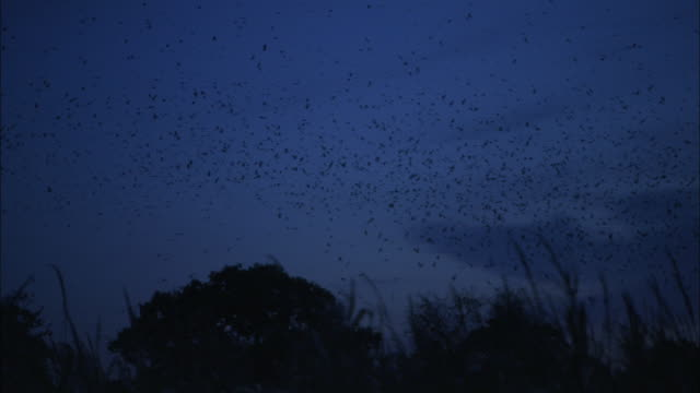 Rooks (Corvus frugilegus) swirl into roost at dusk, Norfolk, UK