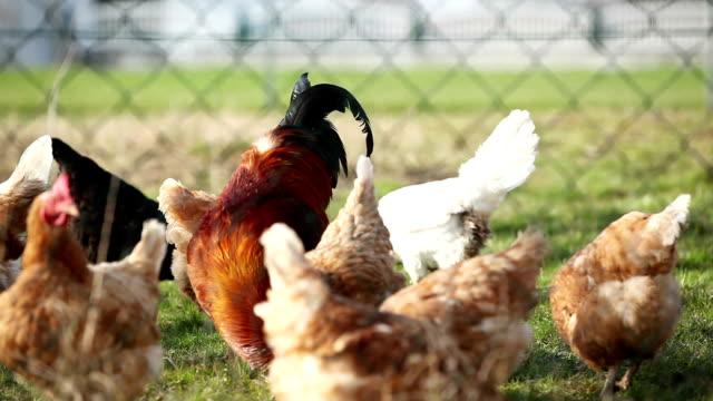 hahn und hühner essen mais - hahnenschrei stock-videos und b-roll-filmmaterial