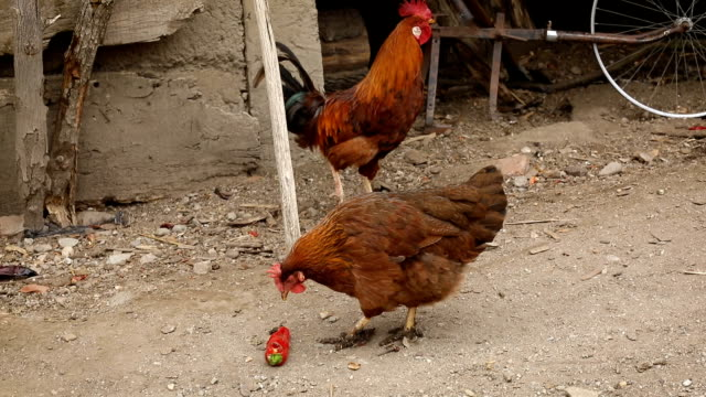 vídeos y material grabado en eventos de stock de gallo y gallinas en el patio - muslo de pollo carne