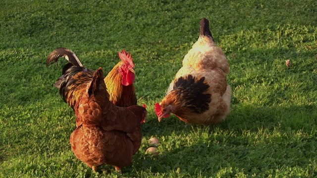 ms, rooster and hens pecking  in field, ireland - three animals stock videos & royalty-free footage
