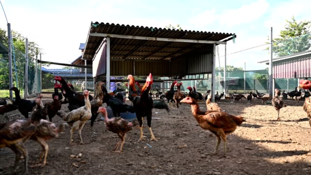 rooster chickens raised in stall - rooster stock videos & royalty-free footage