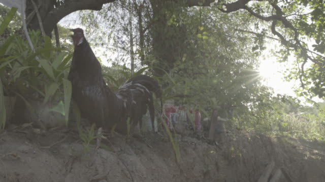 rooster crowing in the morning - crowing stock videos & royalty-free footage
