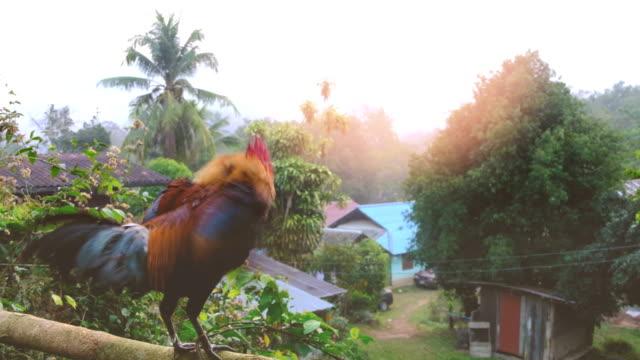 vídeos y material grabado en eventos de stock de rooster kikirikí - gallo