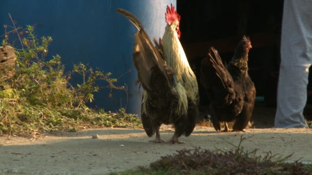rooster, hen and chicks - becco video stock e b–roll