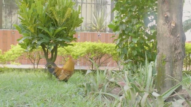 rooster in a garden outside the house in medellin, colombia - maul stock-videos und b-roll-filmmaterial