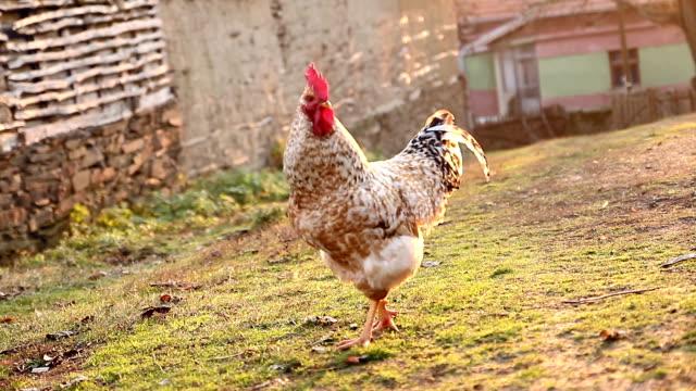 vídeos y material grabado en eventos de stock de gallo en un pueblo jardín delantero - gallo
