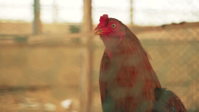 rooster in barn, close up - 20 seconds or greater stock videos & royalty-free footage