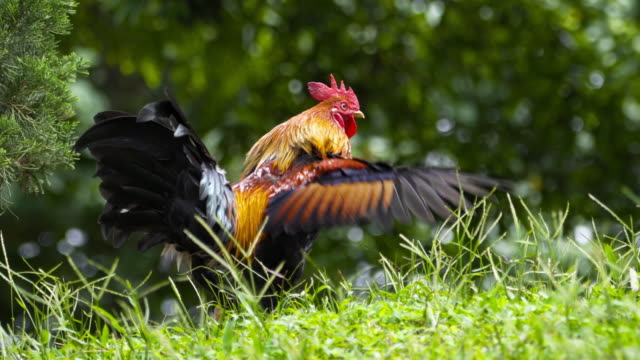 4k rooster moving wing in the nature - crowing stock videos & royalty-free footage