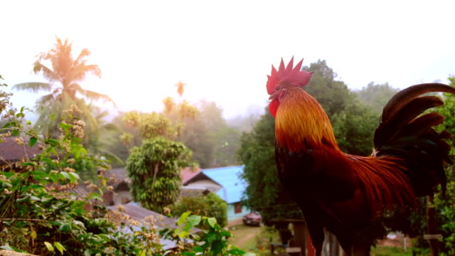 rooster or cock crowing in the morning - chicken bird stock videos and b-roll footage