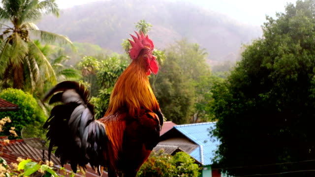 rooster or cock crowing in the morning - crowing stock videos & royalty-free footage