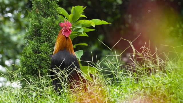 vidéos et rushes de coq ou coq marchant dans la nature - équipement photographique