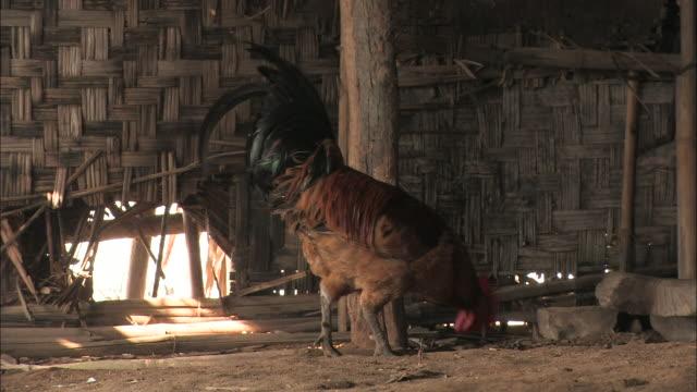 vídeos y material grabado en eventos de stock de a rooster pecks around the floor of a hut. - gallo