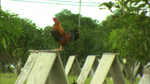 rooster standing on top of rooster hut feathers moving in light wind crowing in response to others slo reframing revealing more huts in grove - crowing stock videos & royalty-free footage