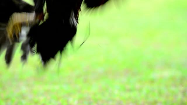 hahn - tierflügel stock-videos und b-roll-filmmaterial