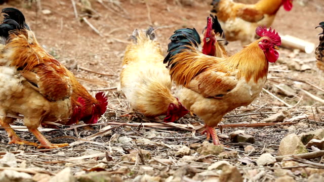 stockvideo's en b-roll-footage met rooster - dierlijke mond