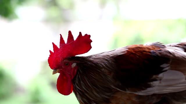 vídeos y material grabado en eventos de stock de gallo - cuello de animal