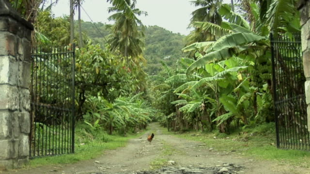ws rooster walking near gate down dirt road lined with banana trees, coconut trees and palm trees / saint lucia - kelly mason videos 個影片檔及 b 捲影像