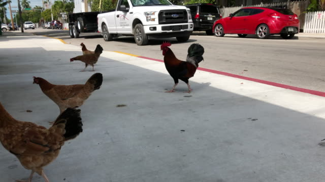 roosters in the key west, florida - the florida keys stock videos & royalty-free footage