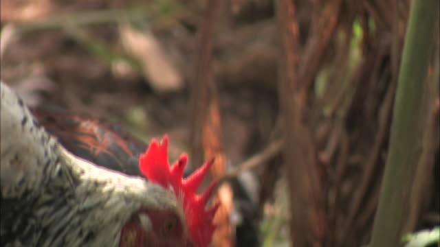 vídeos y material grabado en eventos de stock de roosters strut and peck in a forest. - gallo
