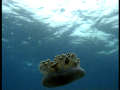 ms root mouth jellyfish, underwater view looking up, swimming close to the surface, australia - 水生生物 個影片檔及 b 捲影像