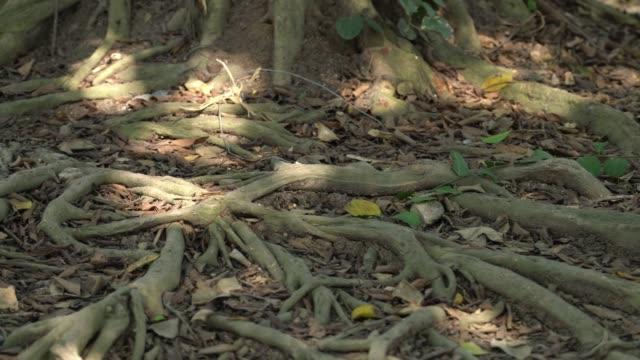 vídeos y material grabado en eventos de stock de raíz de un gran árbol. concepto natural - raíz