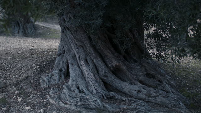 root of ancient olive tree in italy - eternity stock videos & royalty-free footage