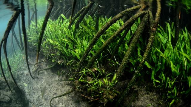 root of mangrove - mangrove tree stock videos & royalty-free footage