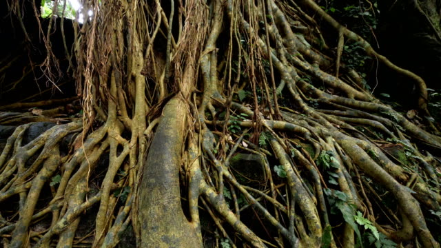roots of huge tree in the suburbus of uluwatu - root stock videos & royalty-free footage