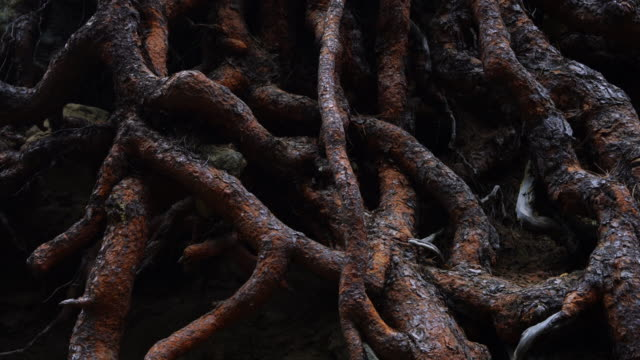 roots, pino canario (pinus canariensis), la cumbrecita, caldera de taburiente national park, la palma, canary islands, spain, europe - pine tree stock videos & royalty-free footage