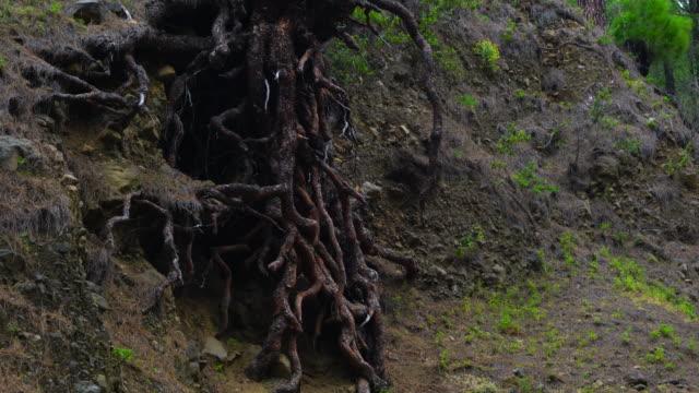 vídeos y material grabado en eventos de stock de roots, pino canario (pinus canariensis), la cumbrecita, caldera de taburiente national park, la palma, canary islands, spain, europe - raíz