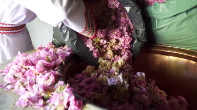 rosa damascena. essential oil production season is now. the abundance of the famous bulgarian rose is in its peak. - bulgaria video stock e b–roll
