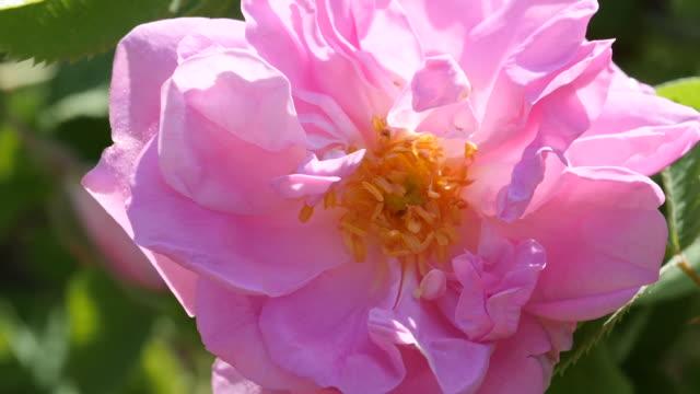 vidéos et rushes de rosa damascena. la saison de production d'huile essentielle est maintenant. la beauté de la célèbre rose bulgare. ralenti. - rosée