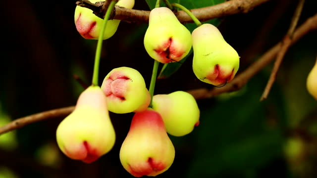 rose apple - tropical fruit stock videos & royalty-free footage