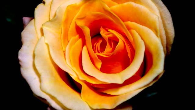 vidéos et rushes de rose floraison laps de temps 4k - pétale