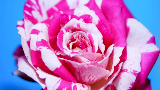 rose blooming time lapse blue screen background - bouquet video stock e b–roll