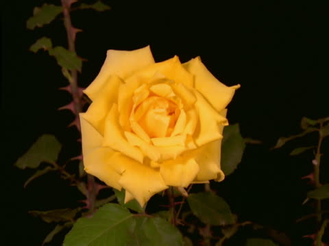 A rose blooming