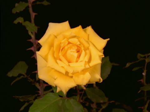 a rose blooming - flower head点の映像素材/bロール